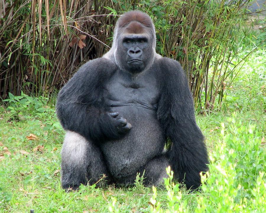 Silverback Photograph - Silverback Gorilla 2 by J M Farris Photography