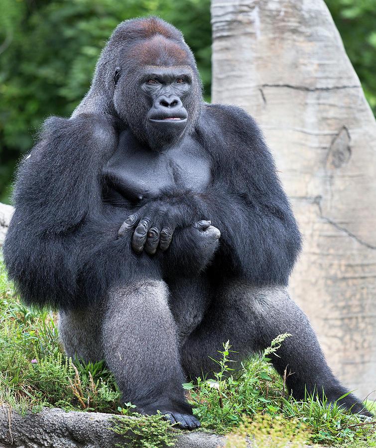 Silverback Photograph - Silverback Gorilla by Bruce Beck