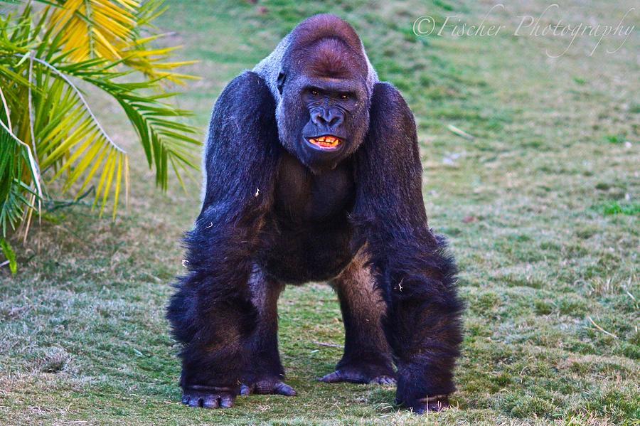 Wildlife Photograph - Silverback  by Kyle Fischer