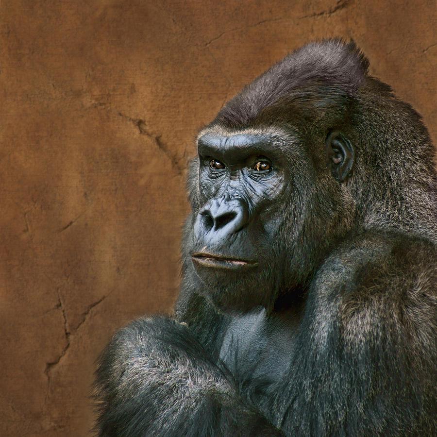 Animals Photograph - Silverback Stare - Gorilla by Nikolyn McDonald
