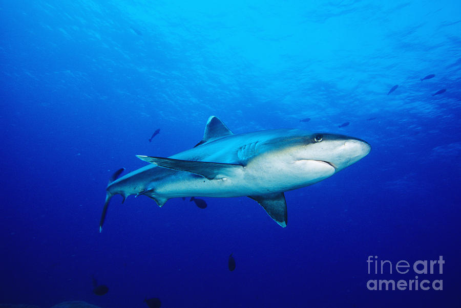Above Photograph - Silvertip Shark In Thailand by Dave Fleetham - Printscapes