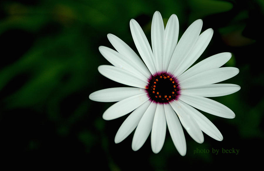 Floral Photograph - Simple Beauty by Becky Carpenter
