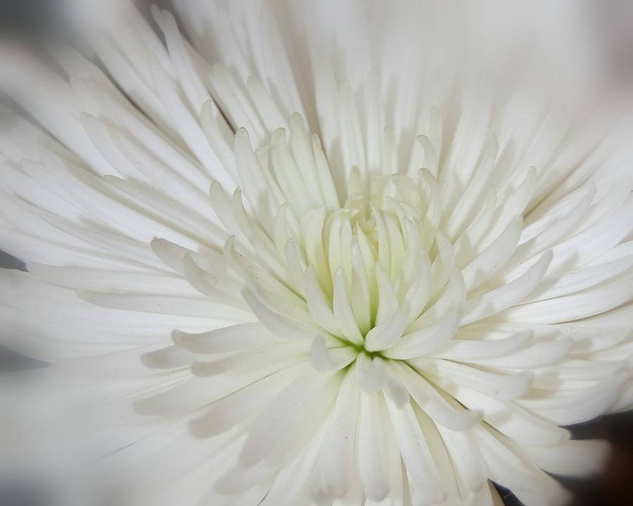 Flower Photograph - Simple Beauty by Shannon McMannus