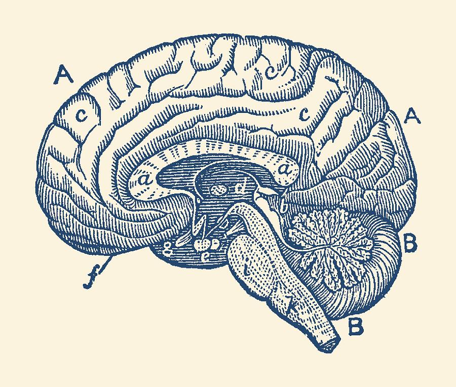Simple Brain Diagram Anatomy Poster Photograph By Vintage Anatomy