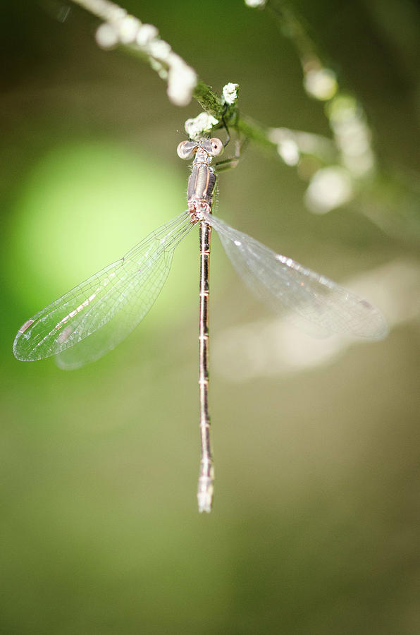 Simple Dragonfly by Nikki Watson    McInnes