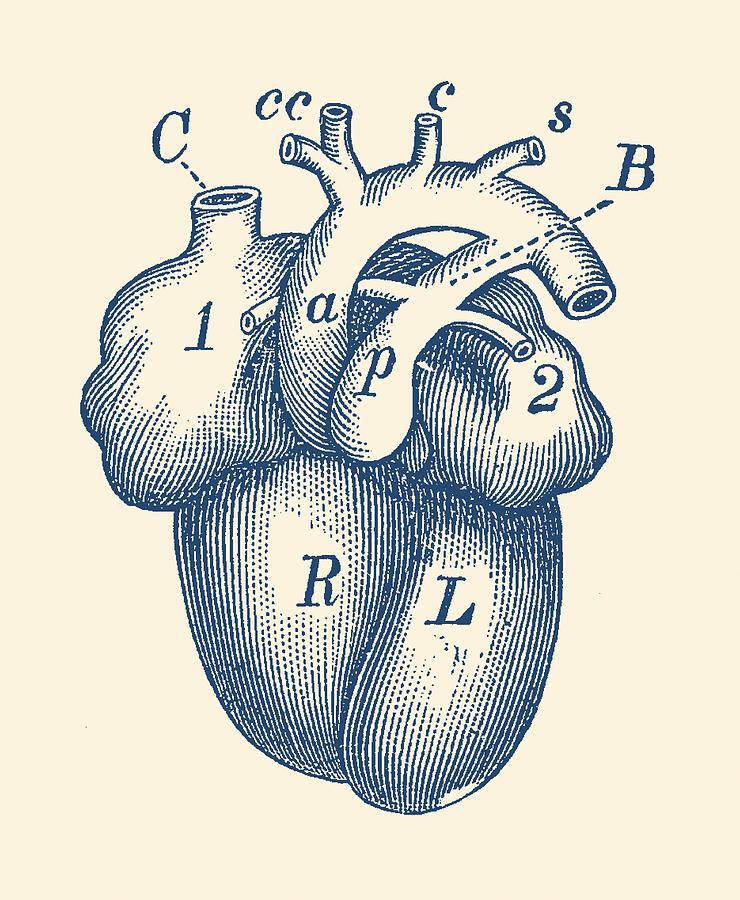 Simple Human Heart Diagram Drawing by Vintage Anatomy Prints