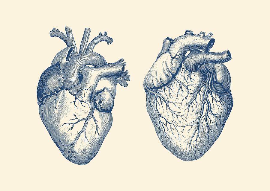 Simple Human Heart Dual View Vintage Anatomy Poster Drawing