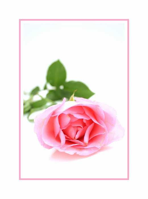 Rose Photograph - Simplicity by Kelly  Kane