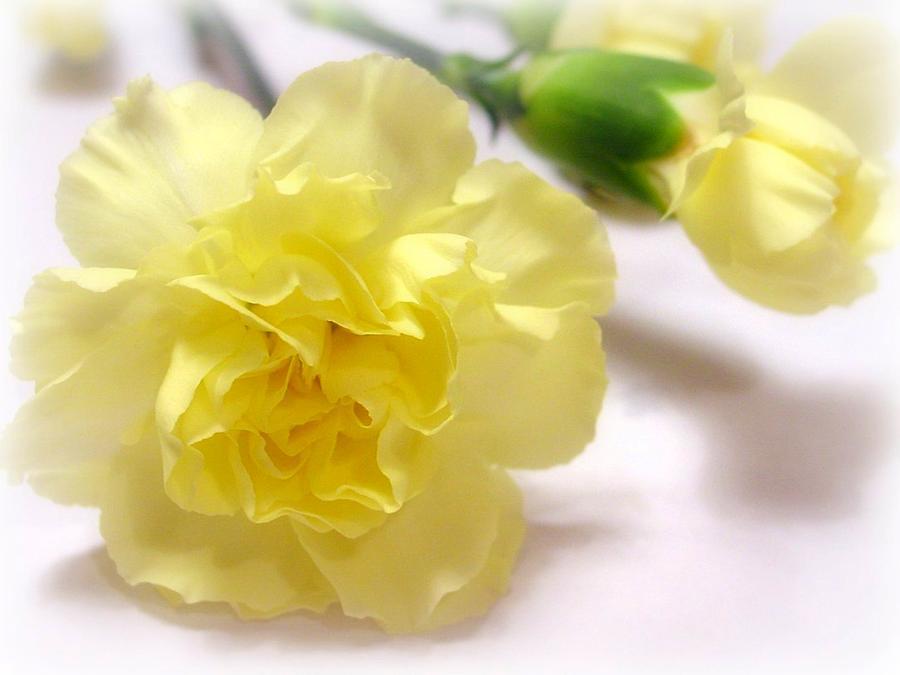 Carnation Photograph - Simply Beautiful by Kathy Bucari