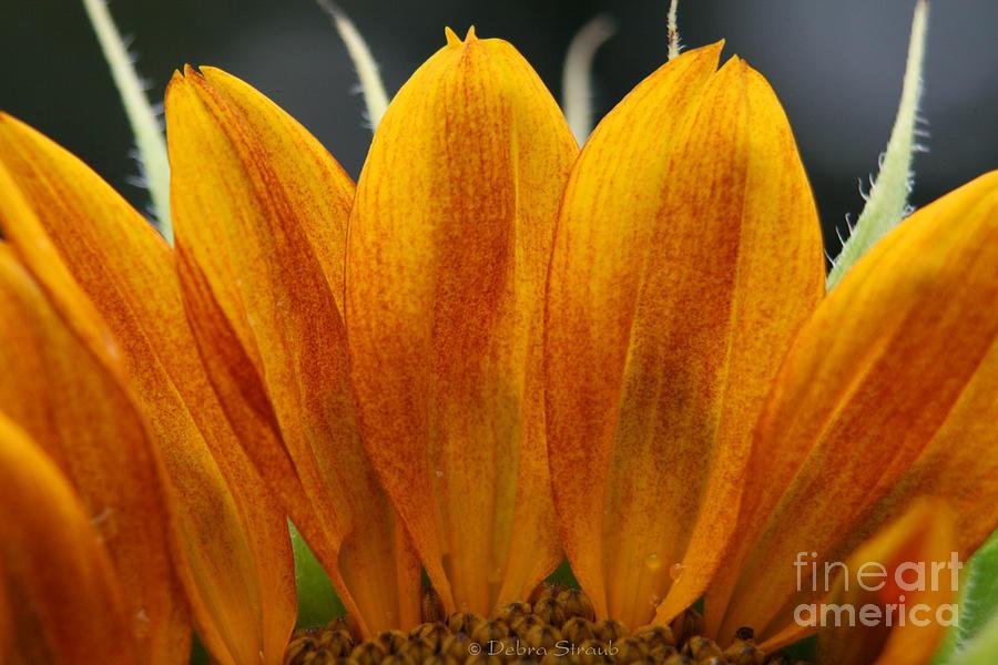 Sunflower Photograph - Simply Petals by Debra Straub