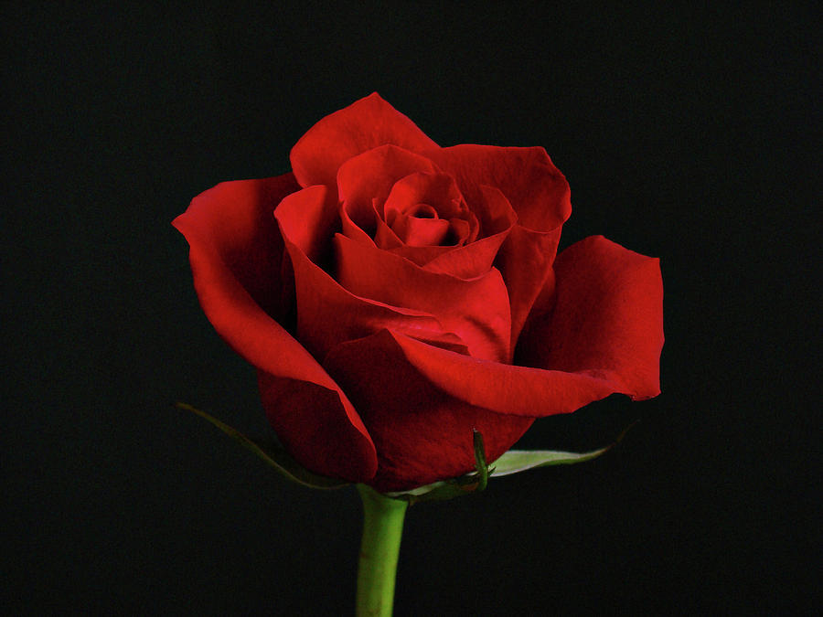 Flower Photograph - Simply Red Rose by Sandy Keeton