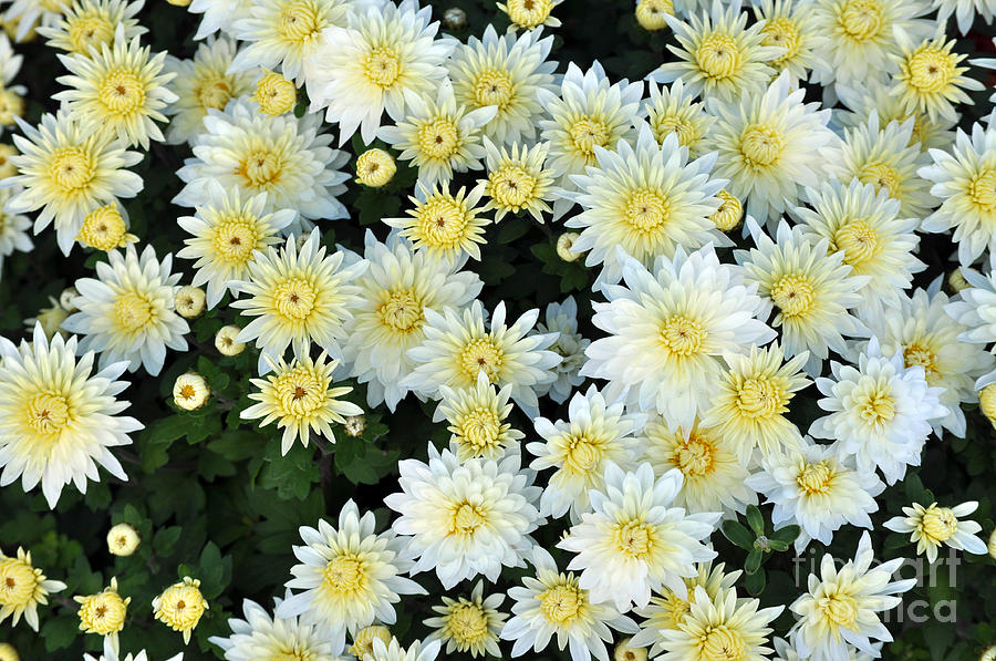simply white yellow buttons aster flowers photograph by debra miller, Beautiful flower