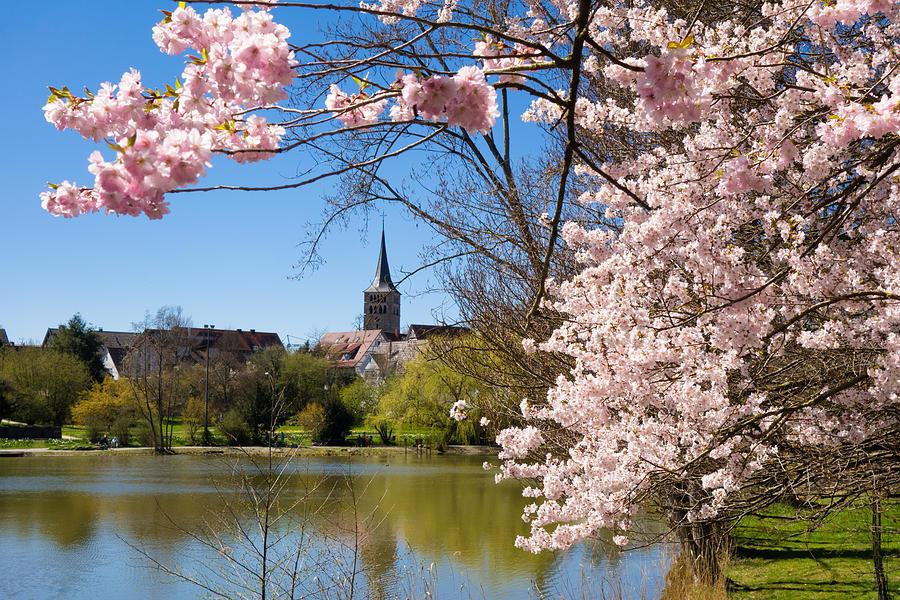 Sindelfingen Germany Pink Spring Blossoms Photograph
