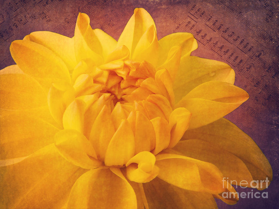 Dahlia Photograph - Sinfonie by Angela Doelling AD DESIGN Photo and PhotoArt