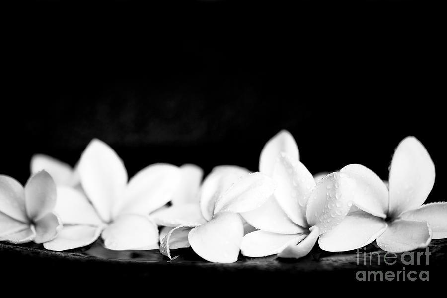Singapore white plumeria flowers the fragrance of hawaii photograph plumeria photograph singapore white plumeria flowers the fragrance of hawaii by sharon mau mightylinksfo