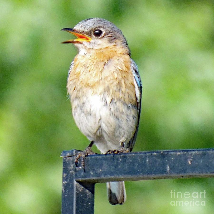 Eastern Bluebird Photograph - Singing For Joy - Eastern Bluebird by Cindy Treger