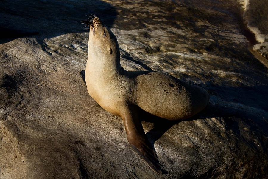 Beach Photograph - Singing Seal by Nathaniel Kidd