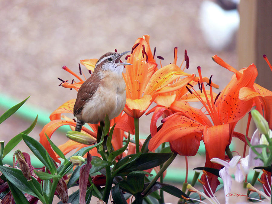 Wren Photograph - Singing Wren In The Lilies by Ericamaxine Price
