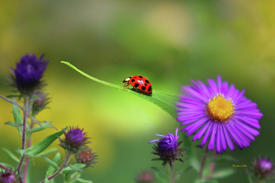 Ladybug Photograph - Single In Search by Christina Rollo