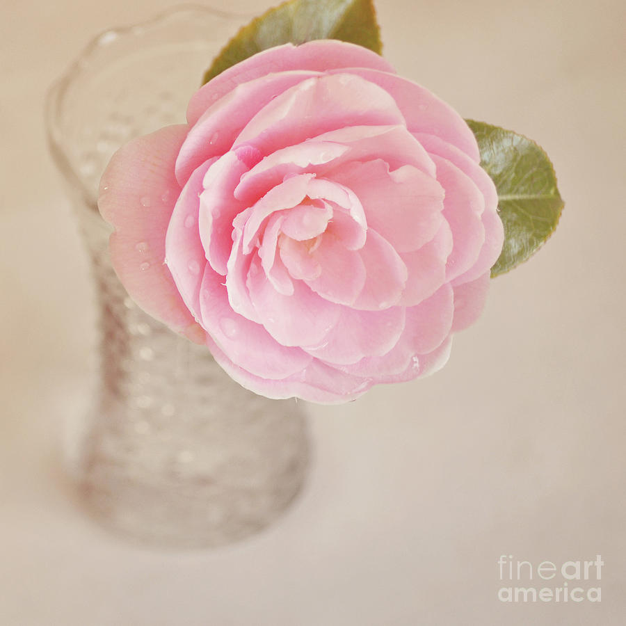 Single Pink Camelia Flower In Clear Vase Photograph By Lyn Randle