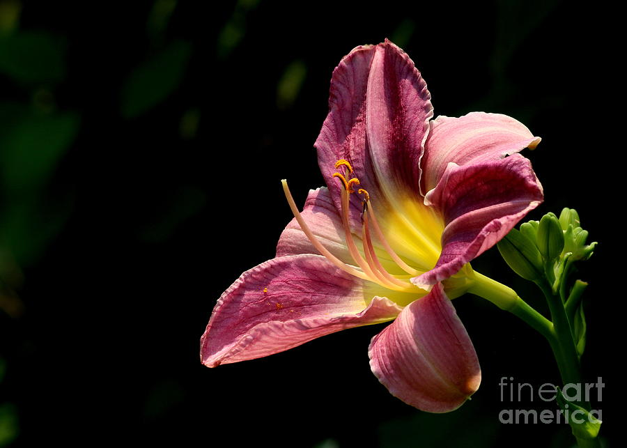Lily Photograph - Single Pink Day Lily by Kenny Glotfelty
