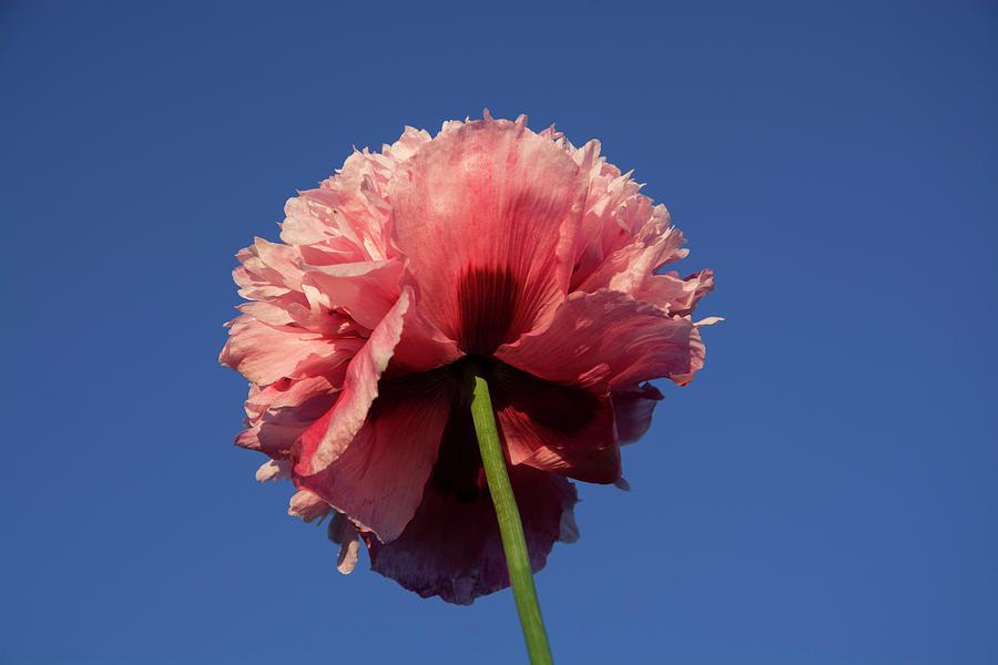 Single pink poppy flower photograph by jeannie like pink photograph single pink poppy flower by jeannie like mightylinksfo