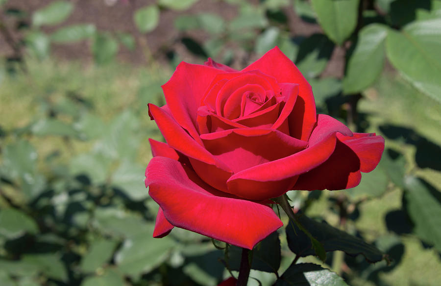 Red Rose Photograph - Single Red Rose  by LaMont Johnson