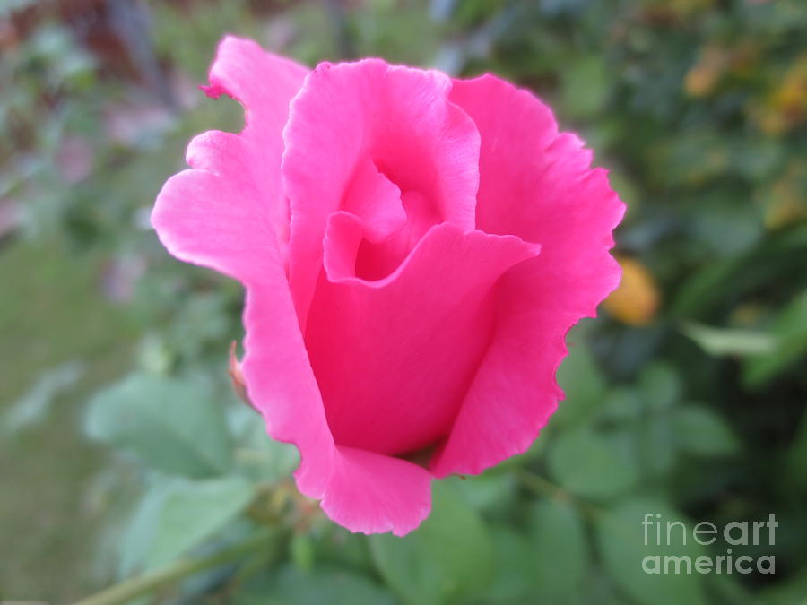 Red Rose Photograph - Single Rose by Lavender Liu