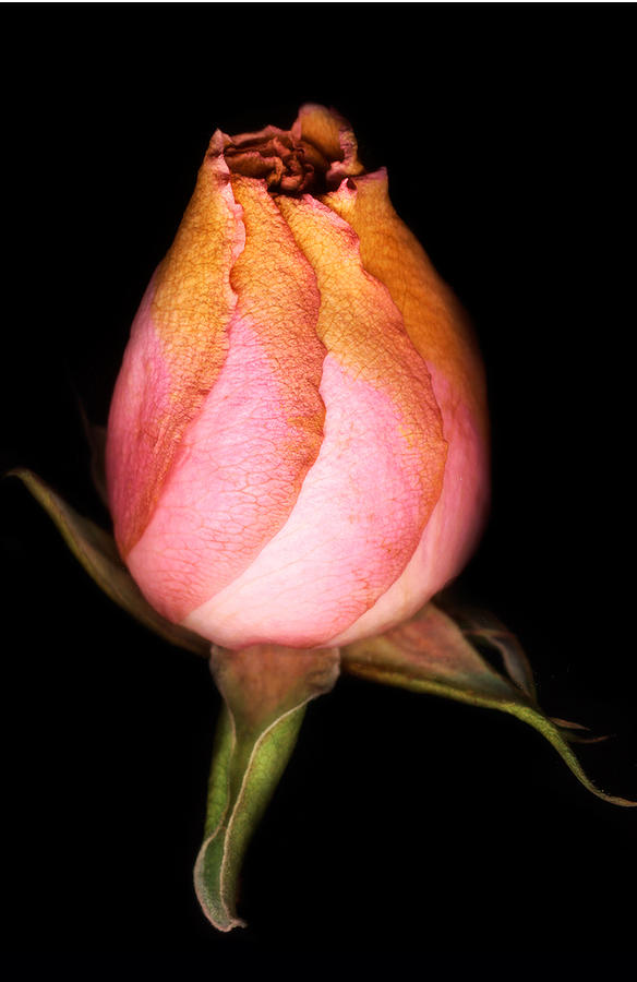 Rose Photograph - single Rose by Marilyn Hunt