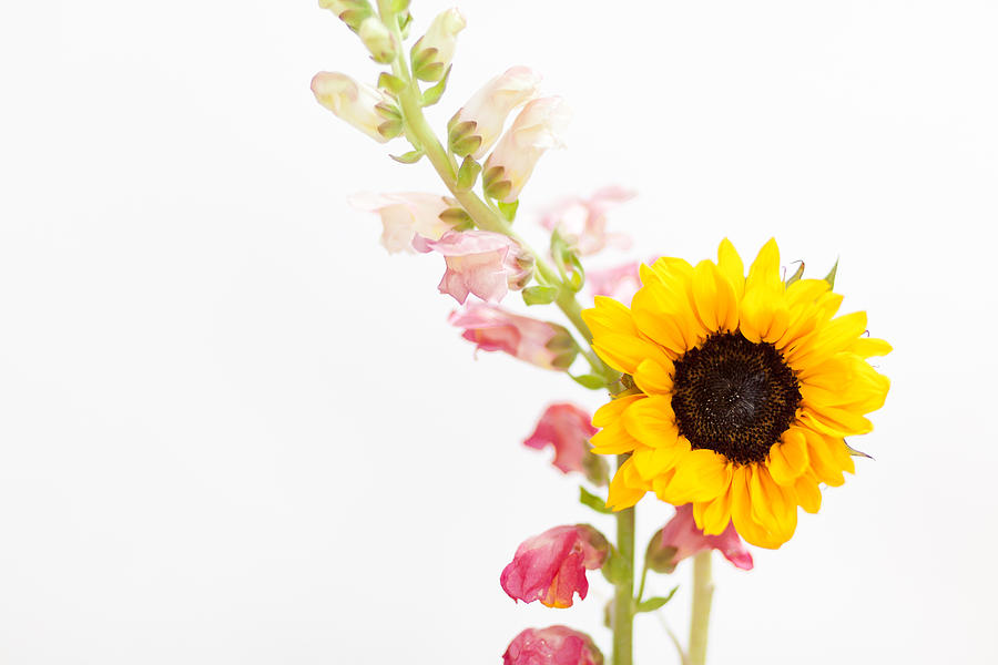 single sunflower and snapdragon photograph by andrea borden, Beautiful flower