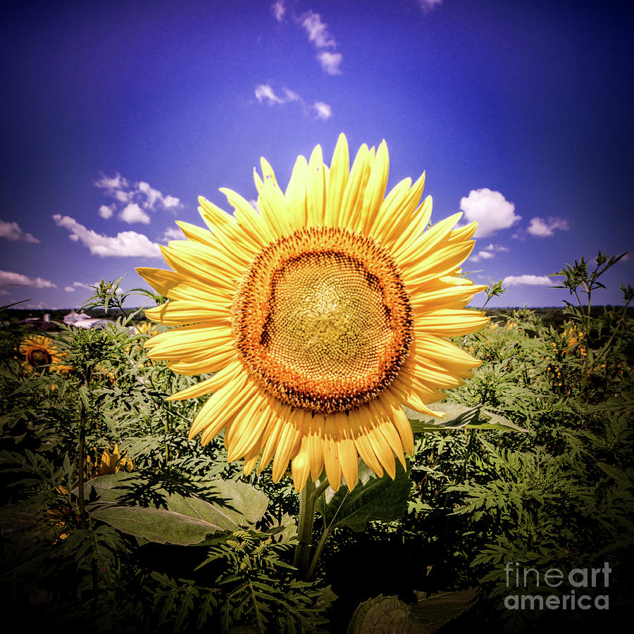 Single Sunflower by Jim DeLillo