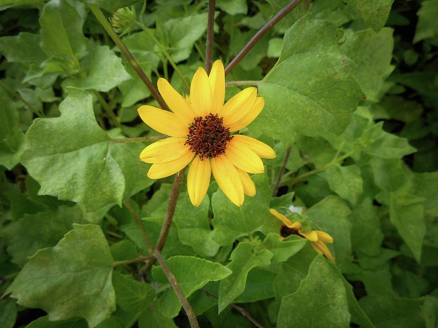 Single Sunflower by Kristen H