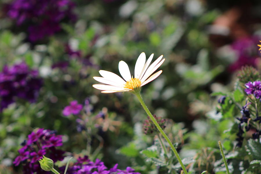 California Desert Photograph - Single White Daisy On Purple by Colleen Cornelius