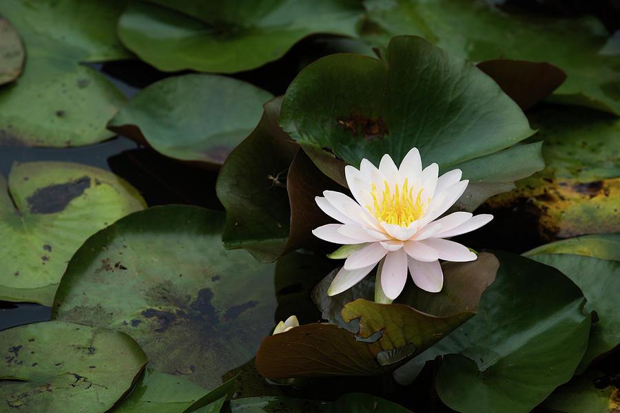 Single White Pristine Lotus Lily by Dennis Dame