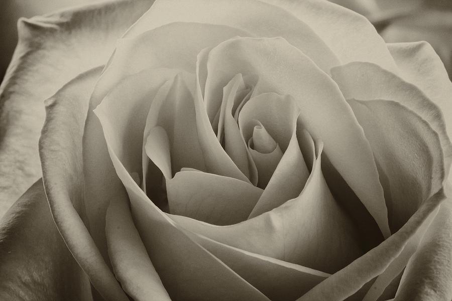Flowers Photograph - Single White Rose - 2 by Carol DeGuiseppi