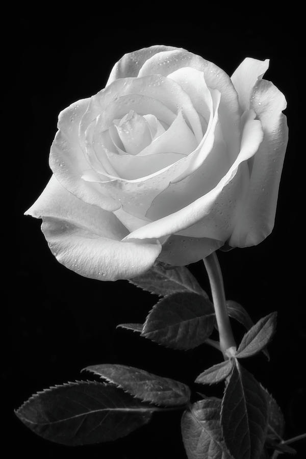 rose single print garry gay photograph wall fine america photographs roses 17th uploaded january which fineartamerica