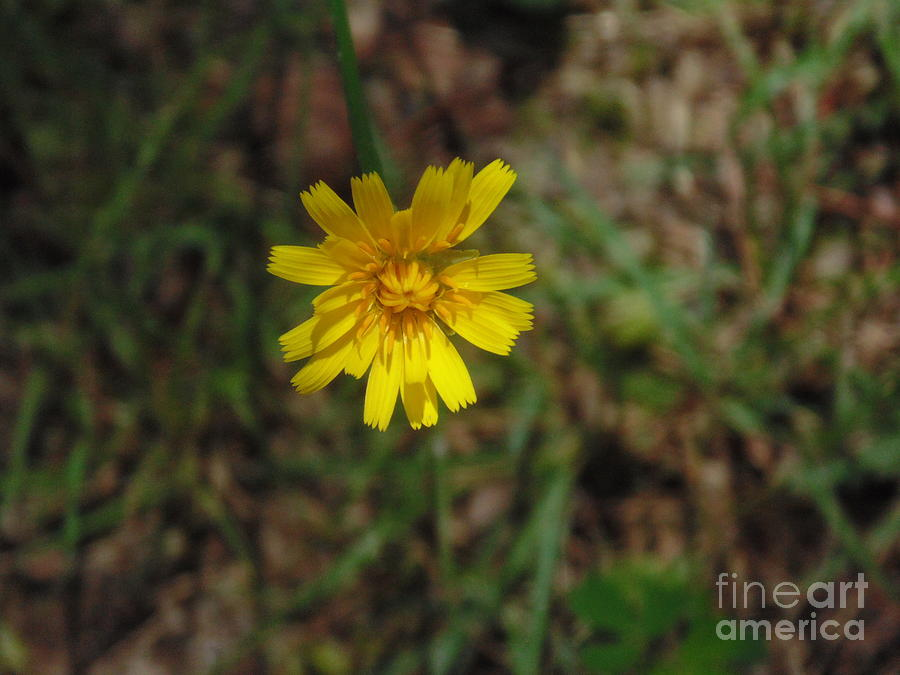 Yellow Flower Photograph - Single Yellow Flower by Ginny Youngblood