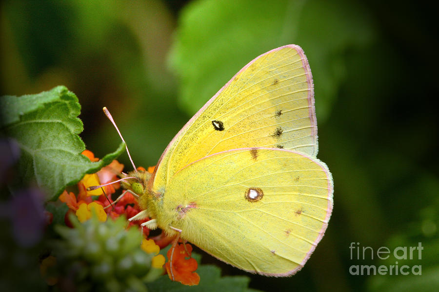 Yellow Photograph - Sipping Nectar by Jeannie Burleson
