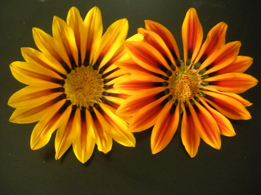 Flowers Photograph - Sisters by Jeanette Oberholtzer