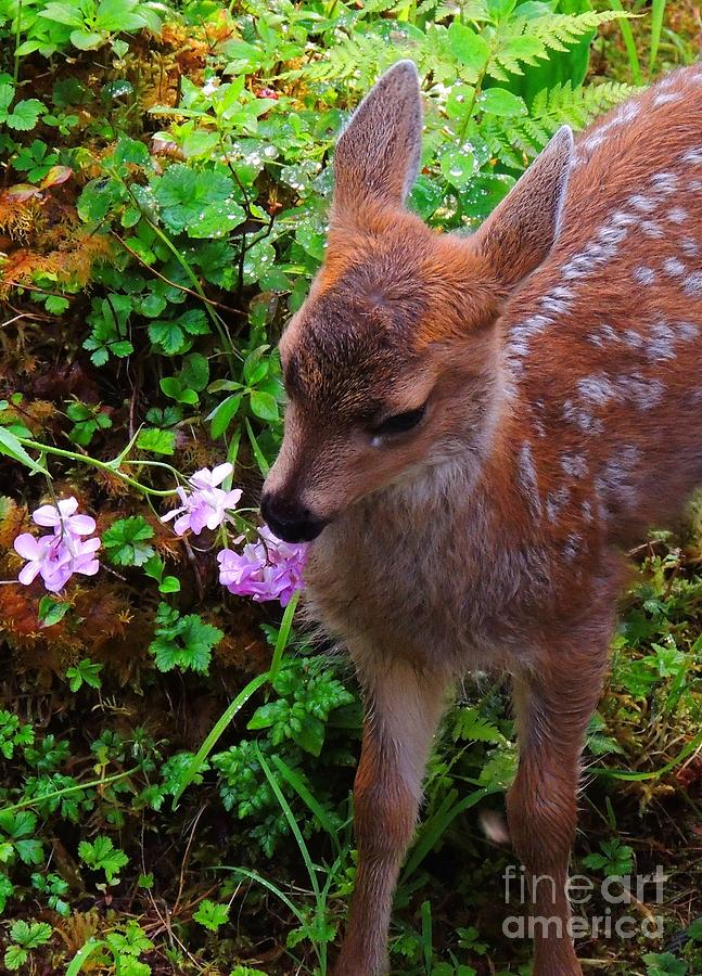 Tongass National Forest Photograph - Sitka Black-tailed Fawn by Dan McIntyre