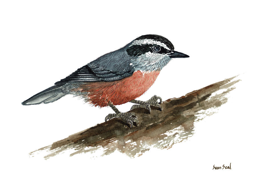 Bird Painting - Sitta Canadensis by Sean Seal