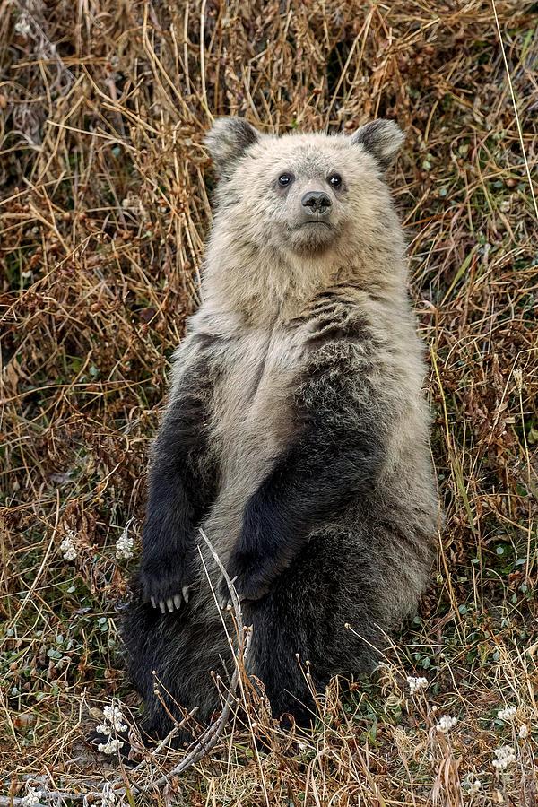 Grizzly Bear Cub Photograph - Sittin And Thinkin by Sandy Sisti