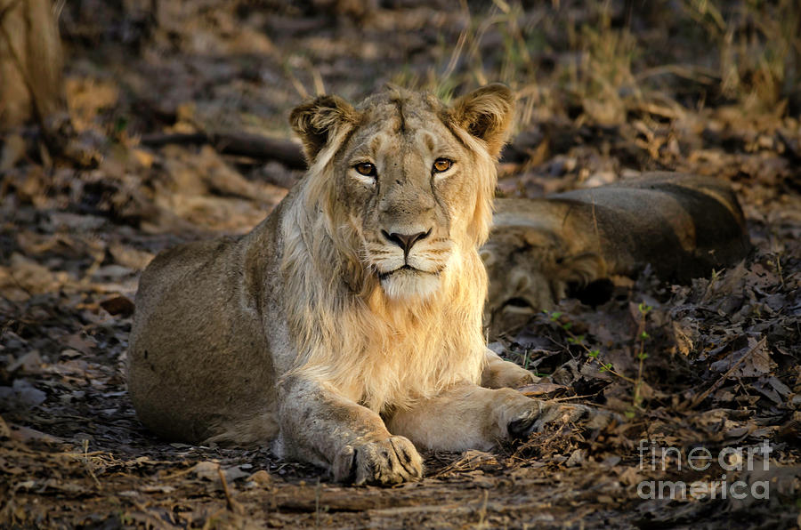 Lion Photograph - Sitting Majestically by Pravine Chester