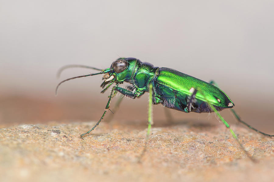 Six-spotted Tiger Beetle Photograph - Six-spotted Tiger Beetle by Derek Thornton