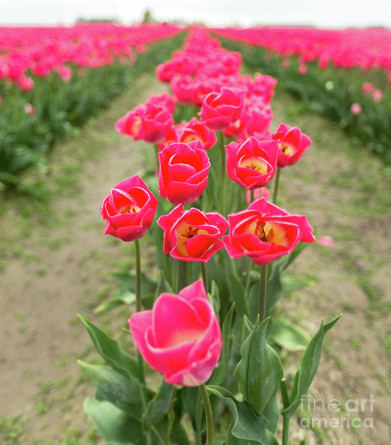 Skagit Tulip Blooms Photograph