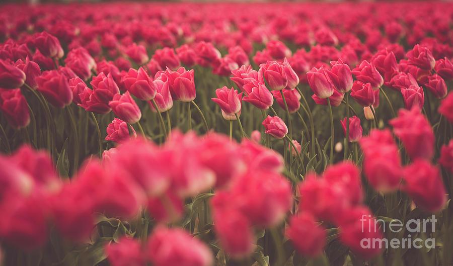Skagit Tulips Endless Fields 2 Photograph