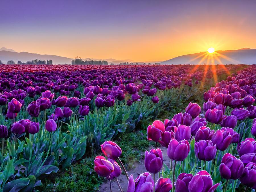 Tulip Photograph - Skagit Valley Sunrise by Kyle Wasielewski