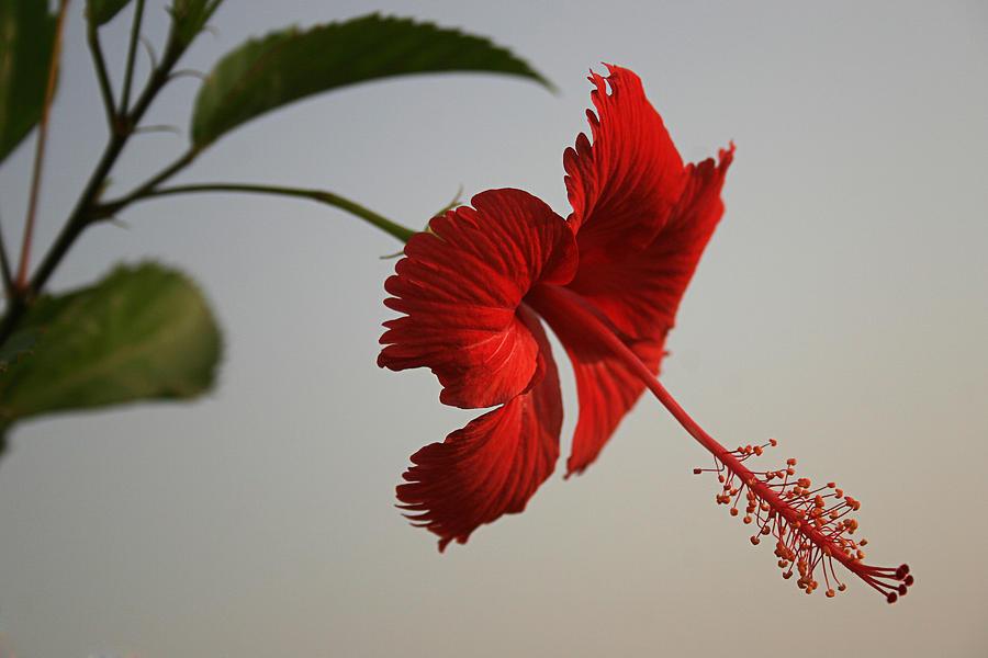 Skc 0450 Vibrant Hibiscus Photograph