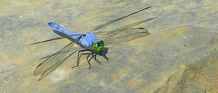 Dragonfly Photograph - Skeeter Eater by Jimmy Poor