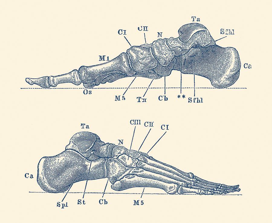 Skeletal Foot Diagram Dual View Anatomy Print Drawing By Vintage